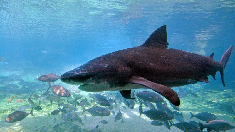Beautiful underwater Bull shark