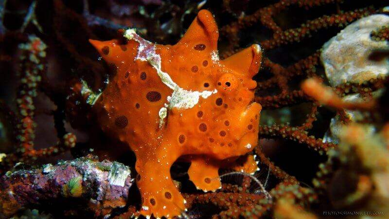 Warty Frog Fish - Whitsunday Diving Academy