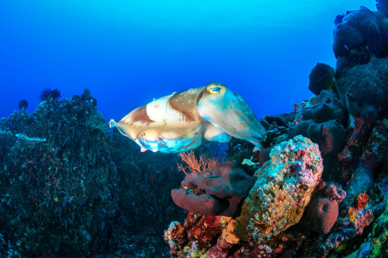 See Cuttlefish on a coral Reef